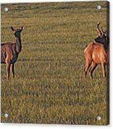 Bull Elk In Velvet With Cow   #5304 Acrylic Print