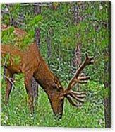 Bull Elk Near Maligne Canyon In Jasper Np-alberta Acrylic Print