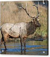 Bull Elk On The Madison River Acrylic Print