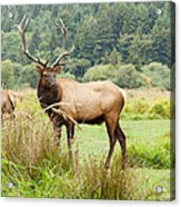 Bull Elk On Watch Acrylic Print