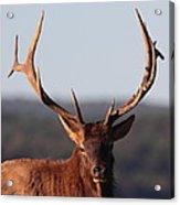 Bull Elk Portrait Acrylic Print
