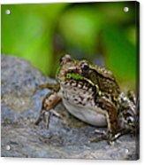 Bull Frog Acrylic Print