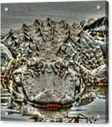 Bull Gator On Watch Acrylic Print