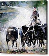 Bull Herd Acrylic Print