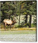 Bull In Waiting Acrylic Print