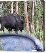 Bull Acrylic Print by Jeff Pickett