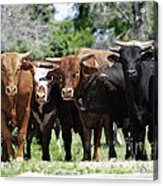 Bull Market Acrylic Print by Lincoln Rogers