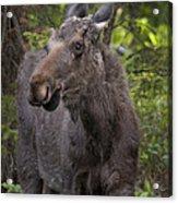 Bull Moose   #5654 Acrylic Print