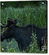 Bull Moose   #5701 Acrylic Print