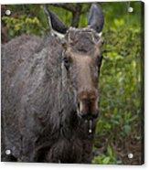 Bull Moose   #5712 Acrylic Print