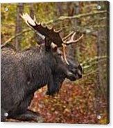 Bull Moose II Acrylic Print