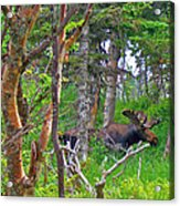 Bull Moose In Cape Breton Highlands Np-ns Acrylic Print