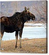 Bull Moose In Late Winter #1 Acrylic Print