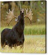 Bull Moose in Rut Acrylic Print