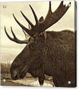 Bull Moose In Sepia Acrylic Print