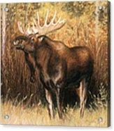 Bull Moose Acrylic Print by Karen Cade