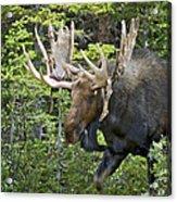 Bull Moose Shedding Velvet Acrylic Print
