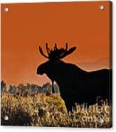 Bull Moose Sunset Acrylic Print