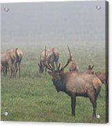 Bull Of The Woods Acrylic Print