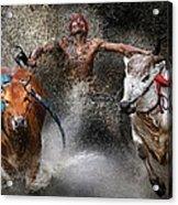 Bull Race Acrylic Print