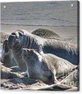 Bull Seal Acrylic Print