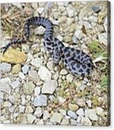 Bull Snake Acrylic Print
