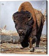 Bull Strut Acrylic Print