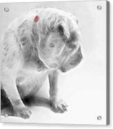 Bulldog 3 -  Featured In Comfortable Art Group Acrylic Print