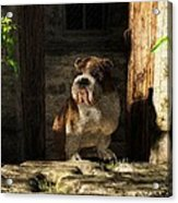 Bulldog In A Doorway Acrylic Print