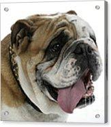 Bulldog, Male Panting Acrylic Print