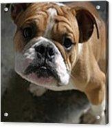 Bulldog Portrait Acrylic Print
