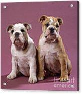 Bulldog Puppies Acrylic Print