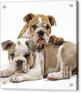 Bulldog Puppies, One On Top Of The Other Acrylic Print