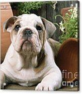 Bulldog Puppy With Flowerpots Acrylic Print