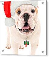 Bulldog Santa Acrylic Print