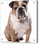 Bulldog Sitting Acrylic Print