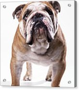 Bulldog Standing, Facing Camera Acrylic Print
