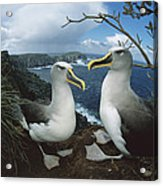 Bullers Albatrosses On Storm-lashed Acrylic Print
