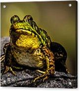 Bullfrog Watching Acrylic Print