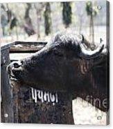 Bulls Cry Acrylic Print