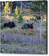 Bulls In The Meadow Acrylic Print