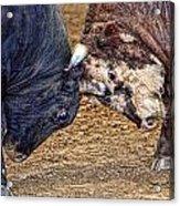 Bulls Acrylic Print by Karen Walzer