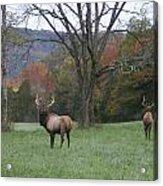 Bulls Of Fall Acrylic Print