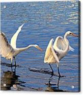 Bullying Egret Style Acrylic Print