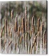 Bulrushes Acrylic Print