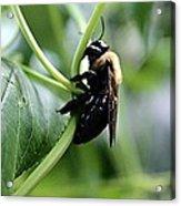 Bumble Bee 2 Acrylic Print