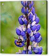 Bumble Bee And Lupine Acrylic Print