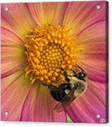 Bumble Bee Dahlia Acrylic Print
