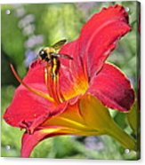 Bumble Bee In Day Lily 109 Acrylic Print