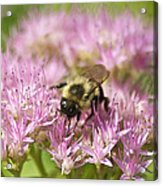 Bumble Bee On A Century Plant Acrylic Print